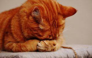 Katze hat Augenentzündung
